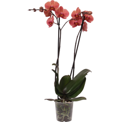 Green Bubble Orchidee Coral (Phalaenopsis) - 70cm