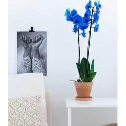 Orchidee Blue Velvet (Phalaenopsis) - 70cm