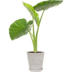 Alocasia calidora incl. 'Soft grey' pot