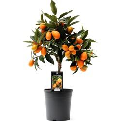 Citrus Kumquat - 50cm