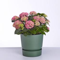 HY-PE Hydrangea - Curly Wurly Roze - 45cm hoog - ø23cm potmaat - Kamer / Tuinplant