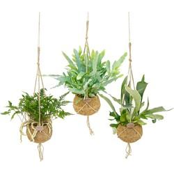 Floraya  - Varen mix per 3 stuks - Kamerplant in Kokodama's kokosvezel hangpot ⌀17 cm - ↕35-40 cm