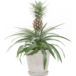 Anti-snurk plant (Bromelia Ananas Champaca) incl. 'Soft grey' pot