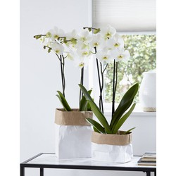Green Bubble Orchidee Leeds (Phalaenopsis) - 70cm