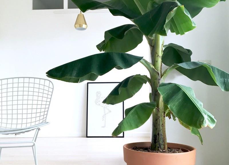 DIY: bananenplant stekken