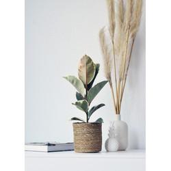 Ficus Tineke (Rubberplant) - 55cm