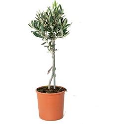 Floraya - Olijfboom op stam | Olea Europaea - Buitenplant in kwekerspot ⌀14 cm - ↕40-50 cm