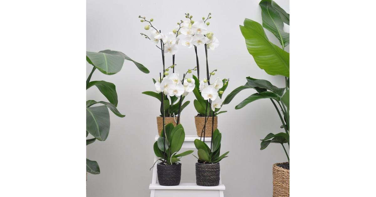 White world orchidee pakket