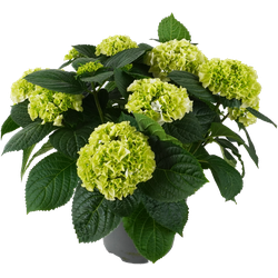 Boeren Hortensia, Wit - Tuin & Terras - ø23cm potmaat -  55cm hoog - Hydrengea