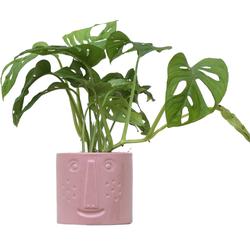 Monstera monkey leaf in pot - 40cm