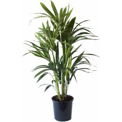 Green Bubble Kentia Palm - 60 cm