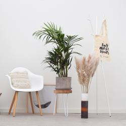 Kentia Palm in pot - 110cm