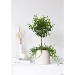 Mix - 2x Ficus Pumila 65cm