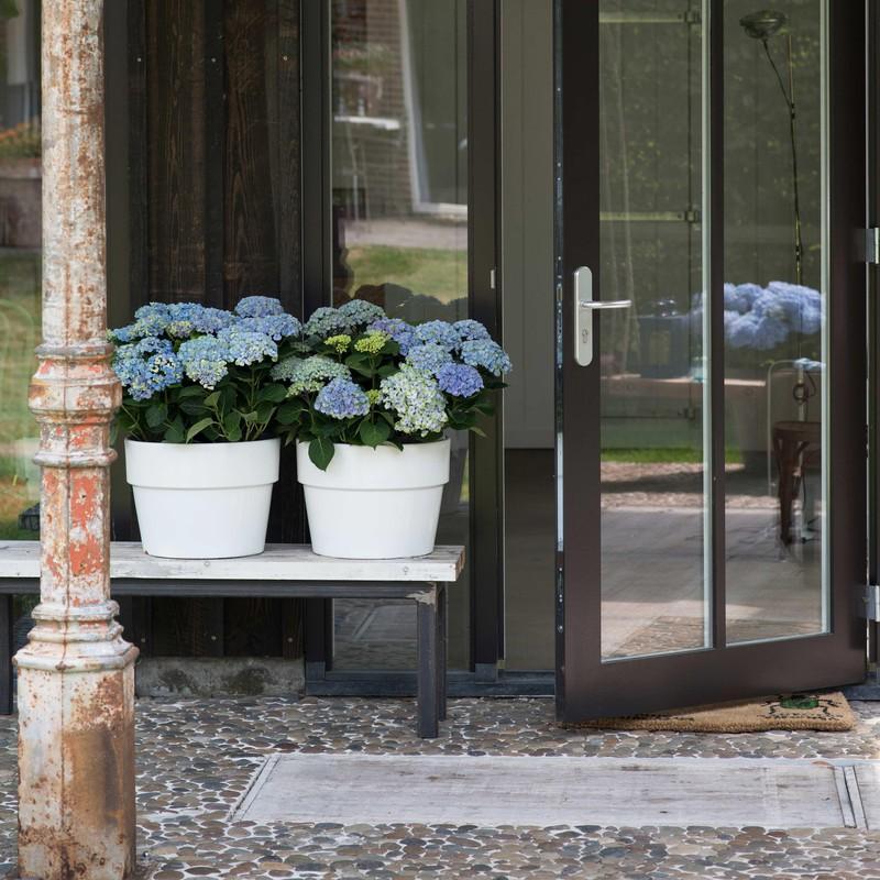 hortensia snoeien voordeur blauw
