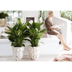 Lepelplant (Spatiphyllum) - 100cm