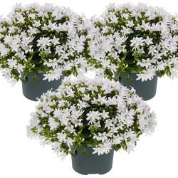 Floraya - Klokjesbloem   Campanula Ambella White per 3 stuks  - Buitenplant in kwekerspot ⌀10,5 cm - ↕15-20 cm