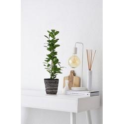 Ficus Moclame in gestreepte mand