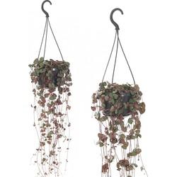 Chinees lantaarnplantje (Ceropegia woodii) - set van 2