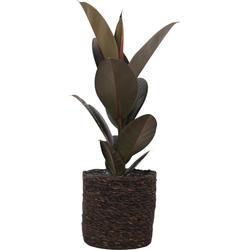 Ficus Abidjan (Rubberplant)