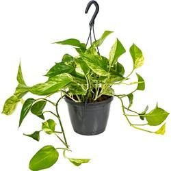 Floraya - Scindapsus 'Marble Queen' in hangpot | Epipremnum - Kamerplant ⌀17 cm - ↕25 cm