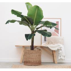 Green Bubble Bananenplant XL