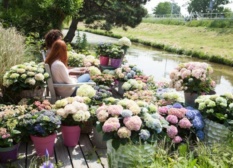 Hortensia's: snoeien is bloeien