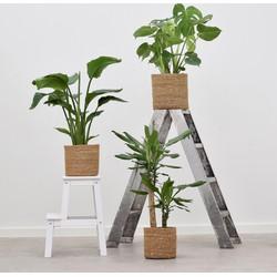 Combi deal - Jungle pakket (3x Tropische planten)
