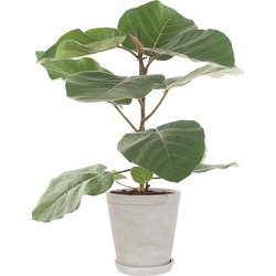 Ficus Everest incl. 'Soft grey' pot