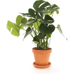 Gatenplant (Monstera)