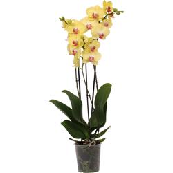 Green Bubble Orchidee Fresh (Phalaenopsis) - 70cm