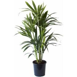 Green Bubble Kentia Palm - 60cm