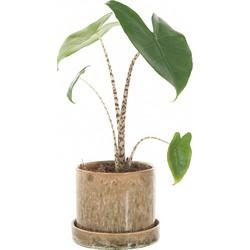 Alocasia Zebrina incl. 'Moss green' pot