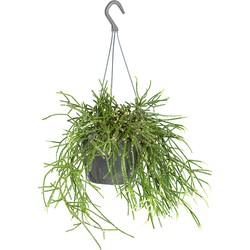 Floraya - Rhipsalis 'Pilocarpa' | Koraalcactus in hangpot - Kamerplant ⌀17 cm - ↕20 cm