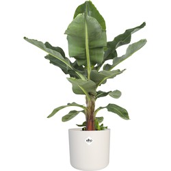 Musa - Bananenplant -  zonder pot