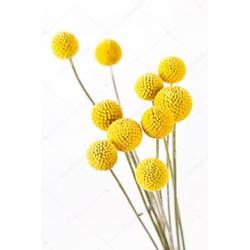 Craspedia of Drumstick Flower per tak