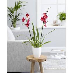 Orchidee Cambria Nelly Isler