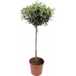 Olijfboom - 90cm