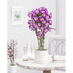 Dendrobium Nobilé - 70cm
