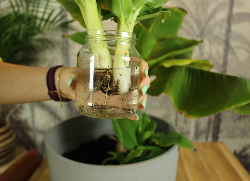 Zo stek je een bananenplant!