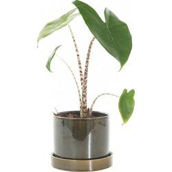 Alocasia Zebrina incl. 'Deep forest' pot