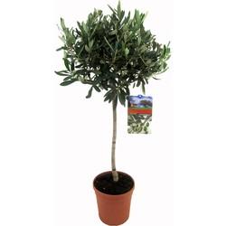 Floraya - Olijfboom op stam - Hoogte 80-100 cm