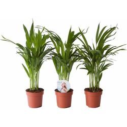 Areca palm (Goudpalm)
