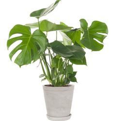 Gatenplant (Monstera) incl. 'Soft grey' pot