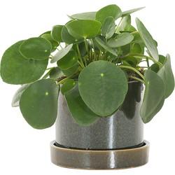 Pannenkoekenplant (Pilea Peperomioides) incl. 'Deep forest' pot