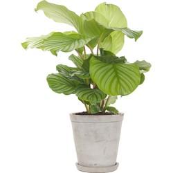 Pauwenplant (Calathea 'Orbifolia')
