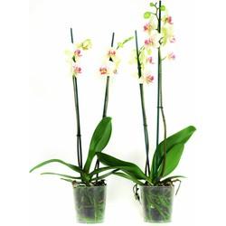 Phalaenopsis Maya - Orchidee - 2 stuks