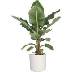 Bananenplant - 80cm