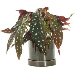 Stippenplant (Begonia Maculata) incl. 'Deep Forest' pot