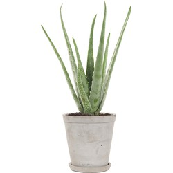 Wonderplant (Aloë vera) incl. 'Soft grey' pot