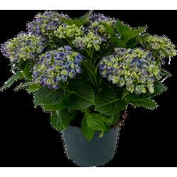 HY-PE Hydrangea - Curly Wurly Blauw - 45cm hoog - ø23cm potmaat - Kamer / Tuinplant